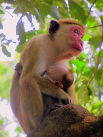Monkey with baby, Yala park
