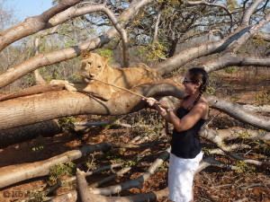 a day with lions in Livingstone, Zambia - the gift of travel
